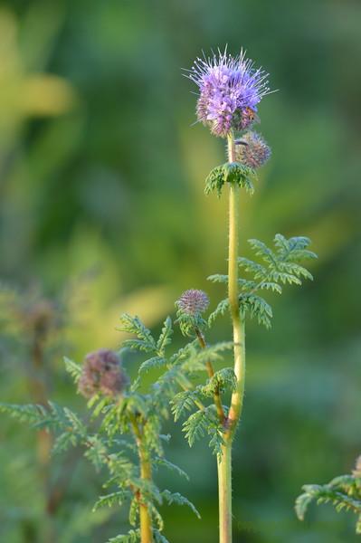 Sunflower_Apple_01112016 (12)