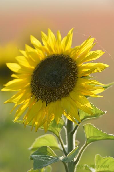 Sunflower_Apple_01112016 (112)