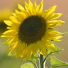 Sunflower_Apple_01112016 (112)
