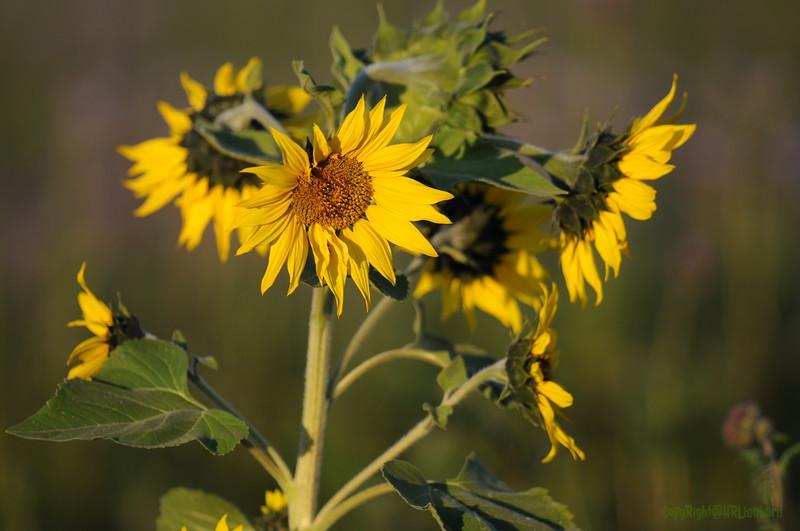 SunflowerFiled_Echichens_0030