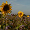 Tournesol_Facilea_Champs_Denens_Oct-2008_0019