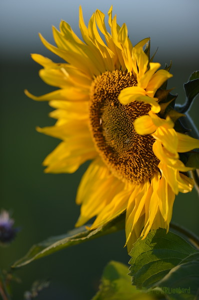 Sunflower_Apple_30102016 (38)