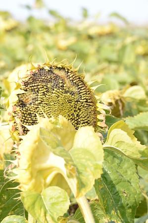 Sun_Flower_Echichens_01092013_0328