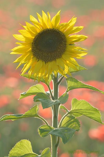 Sunflower_Apple_01112016 (79)