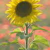 Sunflower_Apple_01112016 (79)