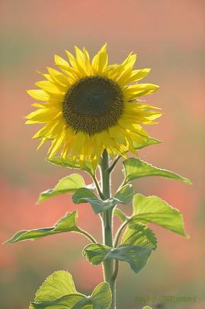 Sunflower_Apple_01112016 (92)