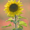 Sunflower_Apple_01112016 (92)