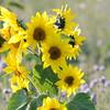 SunflowerFiled_Echichens_0010