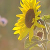 Tournesol_Facilea_Champs_Denens_Oct-2008_0009