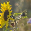 Tournesol_Facilea_Champs_Denens_Oct-2008_0006
