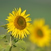 Sunflower_Apple_01112016 (125)