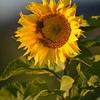 Sunflower_Apple_30102016 (26)