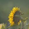 Sunflower_Apple_30102016 (34)