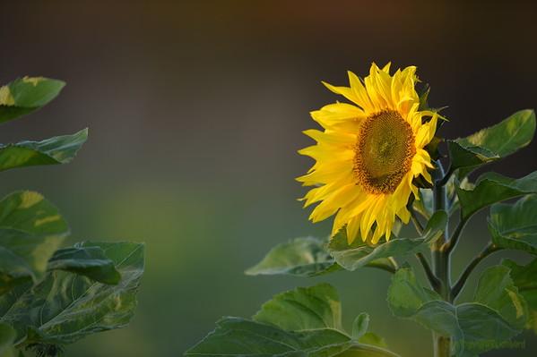 Sunflower_Apple_30102016 (10)