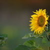 Sunflower_Apple_30102016 (10)