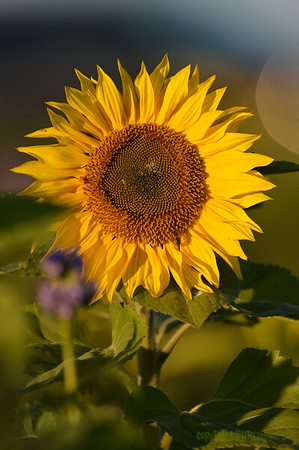 Sunflower_Apple_30102016 (64)