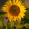 Sunflower_Apple_30102016 (64)