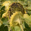 Sun_Flower_Echichens_01092013_0327