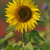 Sunflower_Apple_01112016 (26)