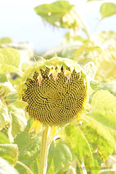 Sun_Flower_Echichens_01092013_0334