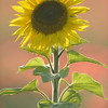 Sunflower_Apple_01112016 (80)