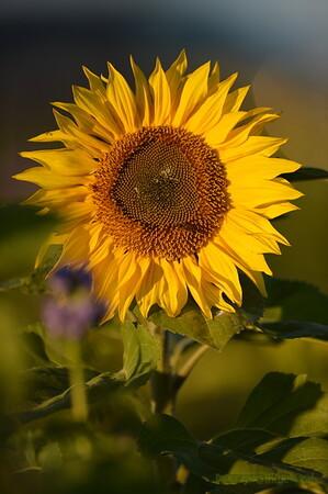 Sunflower_Apple_30102016 (56)