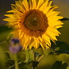 Sunflower_Apple_30102016 (56)