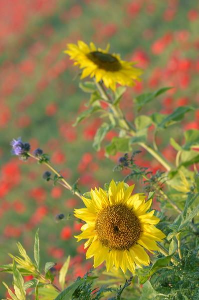 Sunflower_Apple_01112016 (38)