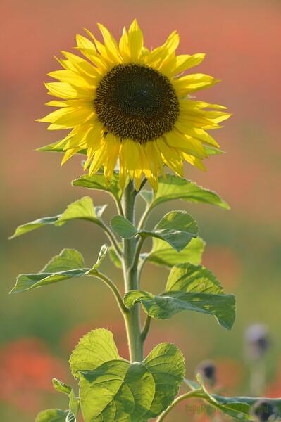 Sunflower_Apple_01112016 (77)