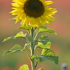 Sunflower_Apple_01112016 (77)