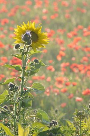 Sunflower_Apple_01112016 (86)