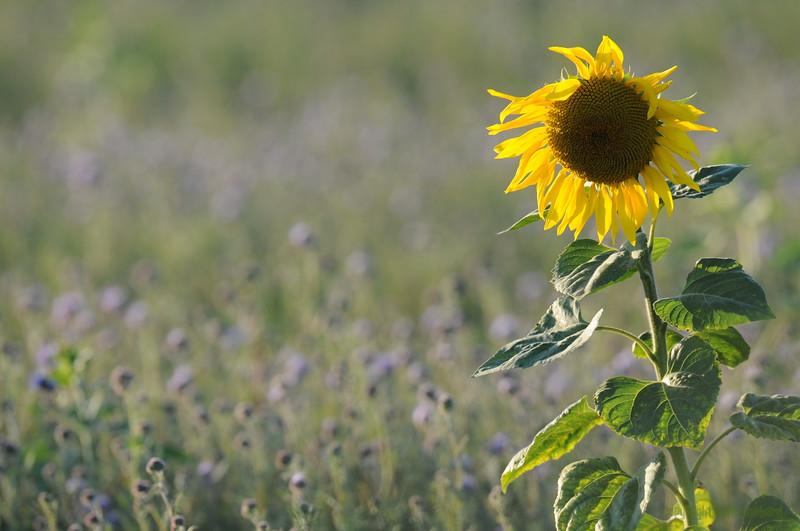 SunflowerFiled_Echichens_0014