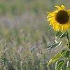 SunflowerFiled_Echichens_0014