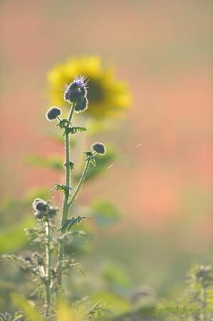 Sunflower_Apple_01112016 (91)