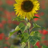 Sunflower_Apple_01112016 (19)