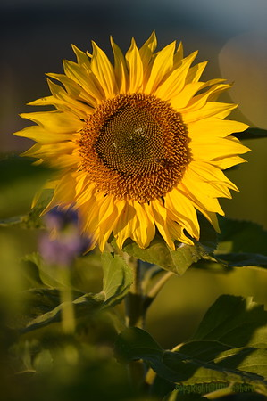 Sunflower_Apple_30102016 (50)