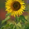 Sunflower_Apple_01112016 (23)