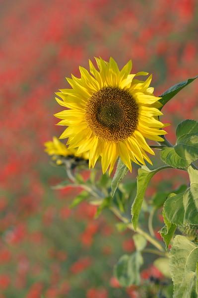 Sunflower_Apple_01112016 (37)