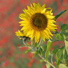 Sunflower_Apple_01112016 (37)