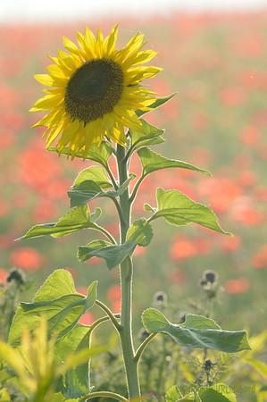 Sunflower_Apple_01112016 (102)