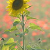 Sunflower_Apple_01112016 (102)