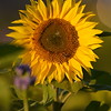 Sunflower_Apple_30102016 (62)