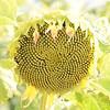 Sun_Flower_Echichens_01092013_0341