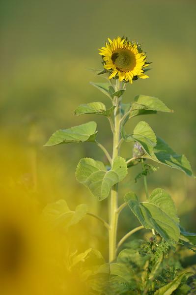Sunflower_Apple_01112016 (114)