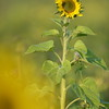 Sunflower_Apple_01112016 (114)