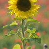 Sunflower_Apple_01112016 (75)