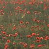 Sunflower_Apple_01112016 (8)