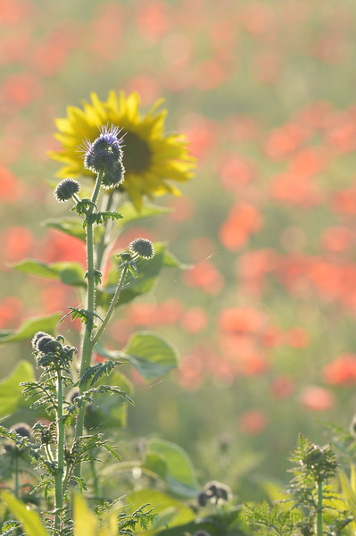 Sunflower_Apple_01112016 (88)