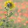Sunflower_Apple_01112016 (88)