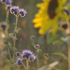 Tournesol_Facilea_Champs_Denens_Oct-2008_0014